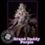 Grand Daddy Purple, Lucky 13 Seeds.jpg