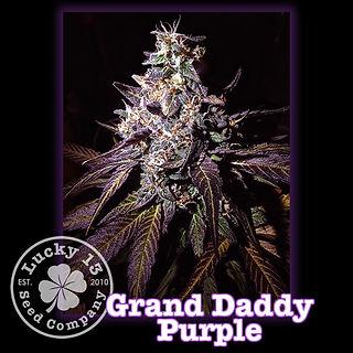 Grand Daddy Purple, Lucky 13 Seeds.jpg