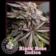 Black Rose Indica, Lucky 13 Seeds.jpg