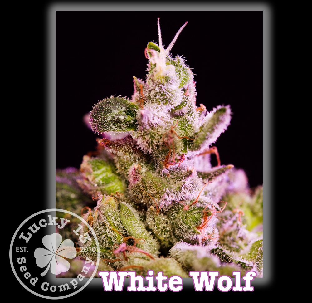 White Wolf, Lucky 13 SeedsNEW