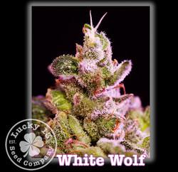 White Wolf, Lucky 13 SeedsNEW