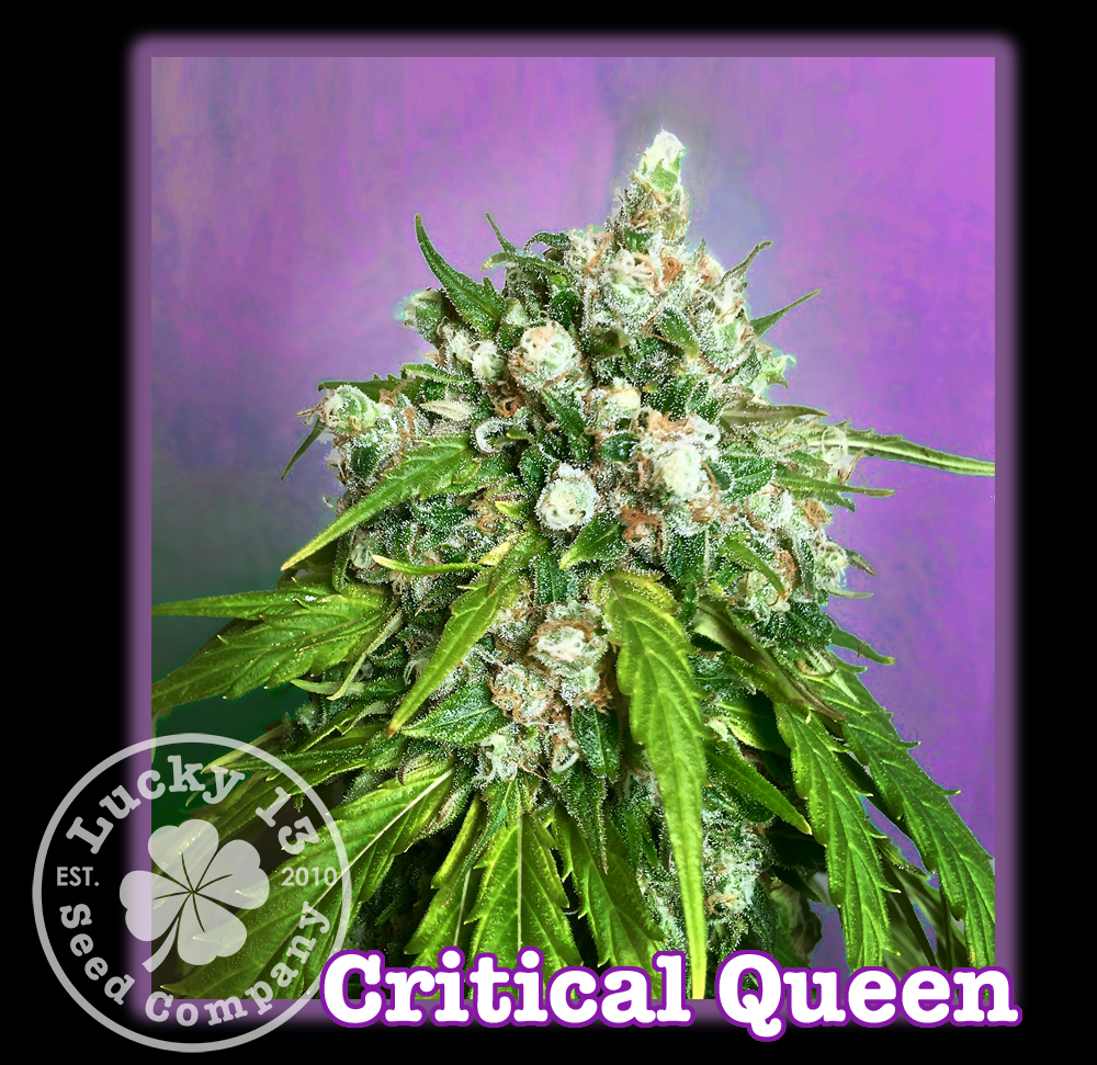 Critcal Queen, Lucky 13 Seeds