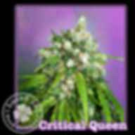 Critcal Queen, Lucky 13 Seeds.jpg