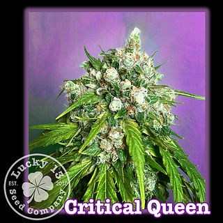 Critcal Queen, Lucky 13 Seeds.jpg