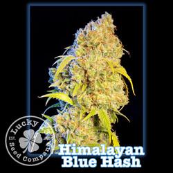 Himalayan Blue Hash 2, Lucky 13 Seeds