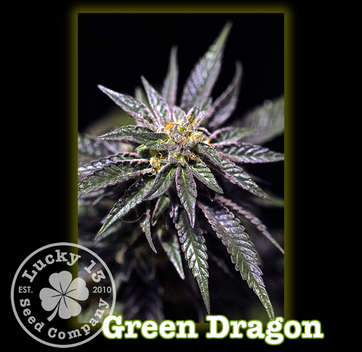 Green Dragon, Lucky 13 Seeds