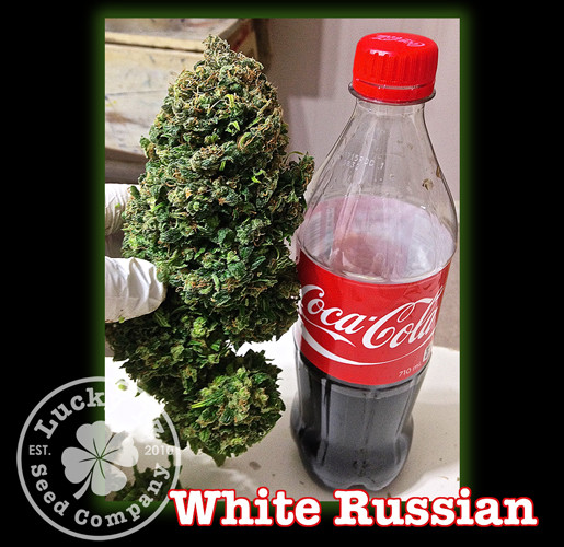 White Russian Lucky 13 Seeds