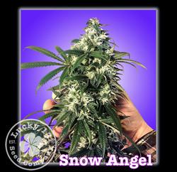 Snow Angel, Lucky 13 SeedsNEW