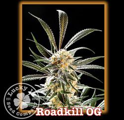 Roadkill OG, Lucky 13 Seeds