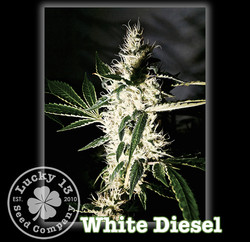 White Diesel, Lucky 13 Seeds
