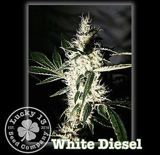 White Diesel, Lucky 13 Seeds.jpg