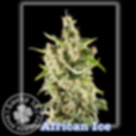 African Ice, Lucky 13 Seeds.jpg