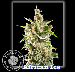 African Ice, Lucky 13 Seeds