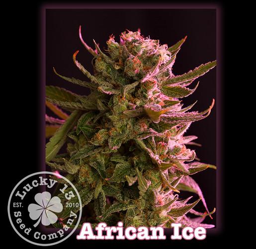 African Ice, Lucky 13 Seeds.jpg