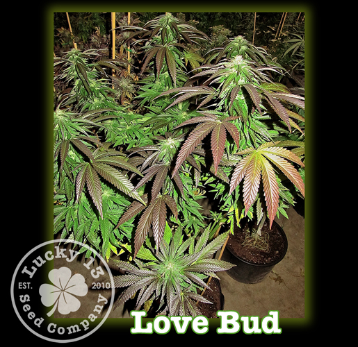 Love Bud, Lucky 13 Seeds