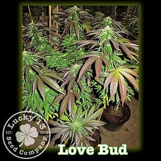 Love Bud, Lucky 13 Seeds.jpg