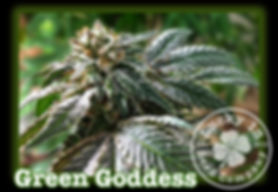 Green Goddess, Lucky 13 SeedsNEW.jpg