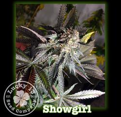 Showgirl, Lucky 13 SeedsNEW