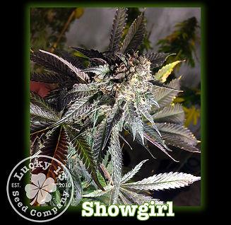 Showgirl, Lucky 13 SeedsNEW.jpg
