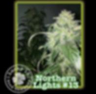 Northern Lights, Lucky 13 Seeds.jpg