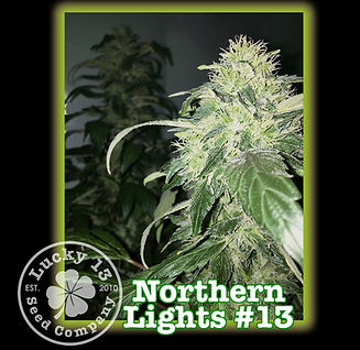 Northern Lights, Lucky 13 Seeds.jpg