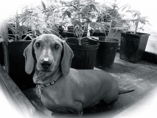 How To Make Cannabis Butter For Sick Pets