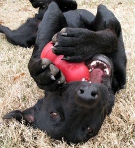 Dog-chewing-on-Kong-273x300.jpg