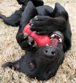 Dog-chewing-on-Kong-273x300.jpg