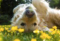 Golden Retreiver in the flowers - spring