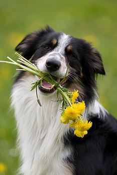 Happy dog holding flowers.jpg