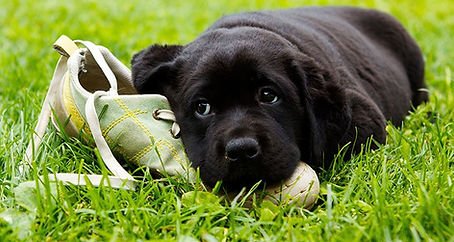 The-causes-of-unwanted-chewing_0-dog-sho