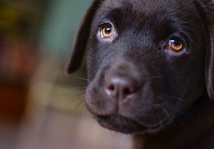 Canva - Short-coated Brown Puppy.jpg
