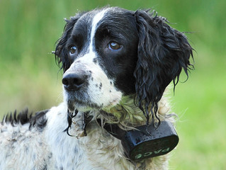 Electric Shock Training Collars to be banned in England!
