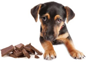 Can chocolate posion your dog?