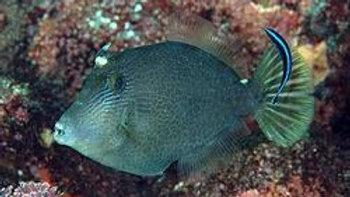 Honeycomb Filefish