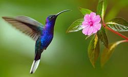 colibri-mexicano