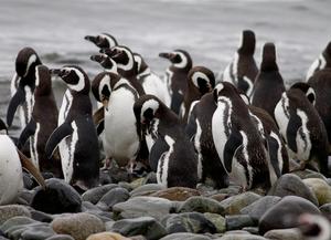 Vários pinguins reunidos sobre pedras arredondadas e, ao fundo, o mar.