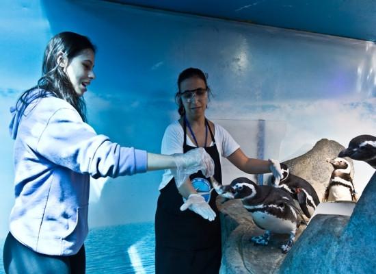 Foto mostrando duas pessoas alimentando pinguins-de-Magalhães com peixes. Na foto aparecem 4 pinguins do lado direito e as duas pessoas estão do lado esquerdo.