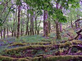 Dunvegan woods
