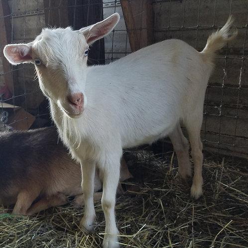 Claudia and Albus ADGA Registered Nigerian Dwarf Goats