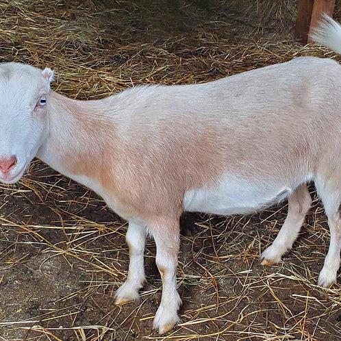 Lilly and Hagrid MiniMancha Goats