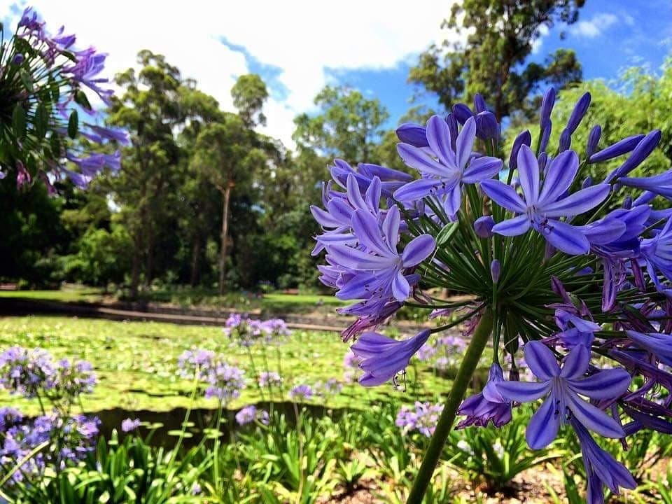 Lilac_flower