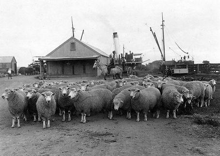 Sheep from W.Walker of Tirohanga bound for Argentina via Opotiki Wharf.JPG