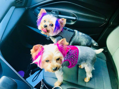 Andria's pampered punk pooches, Pixie and Rosalie.
