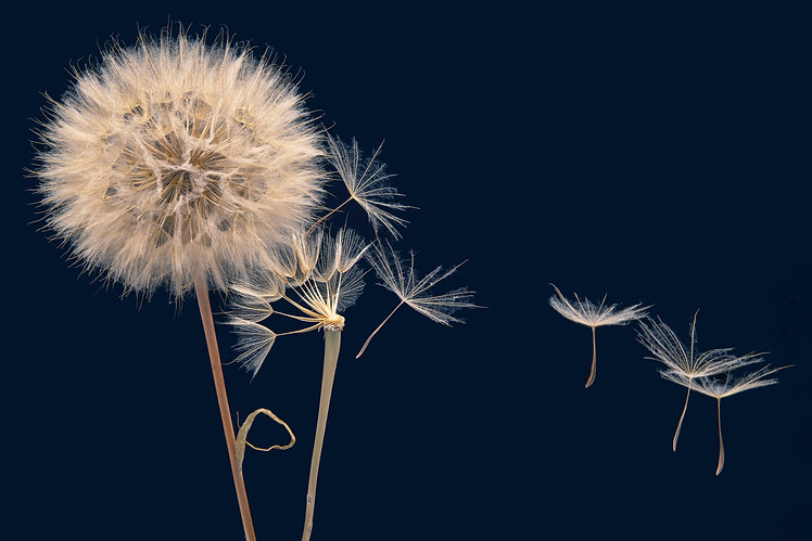 dandelion-seeds-fly-from-flower.jpg