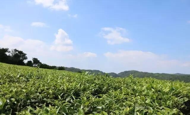 spring tea garden