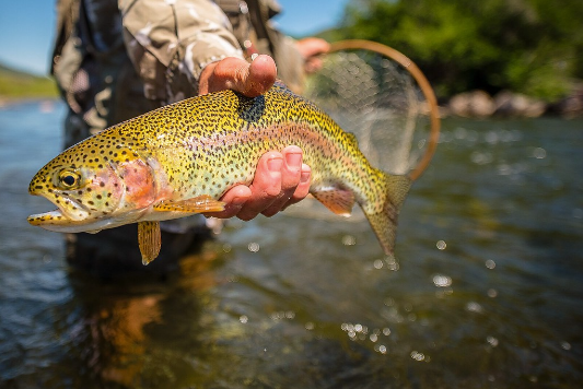 RainbowTrout_FlyFish.png