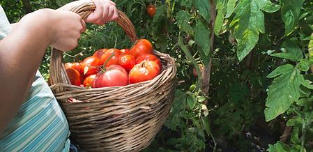 tomaten-oogsten.png