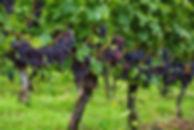 druif.jpg