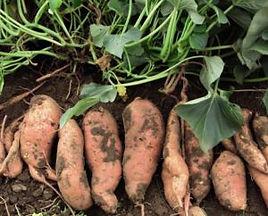zoete-aardappel.jpg